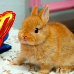 【うさぎの種類】ネザーランドドワーフってどんな種類??|ウサギについての解説。