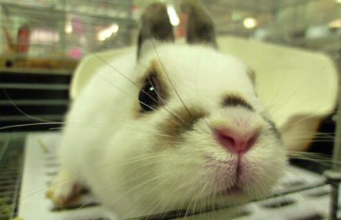 ホーランドロップ ,ウサギ,種類,ランキング,写真,画像
