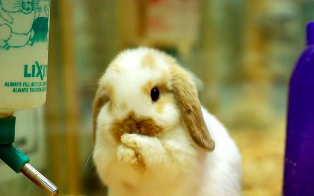 ホーランドロップ ,ウサギ,種類,画像,写真,可愛い