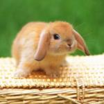 【ホーランドロップ】ウサギについての解説。うさぎの性格や特徴のまとめ。