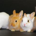 【 ウサギの種類】ミニウサギってどんな種類?|ウサギの種類についての解説。