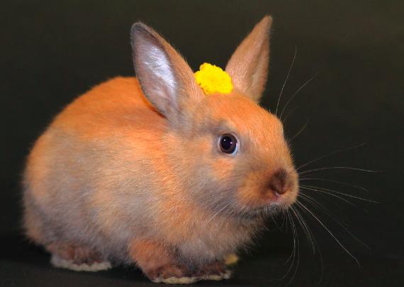 ミニウサギ,種類,人気,ランキング,特徴,性格,画像,写真